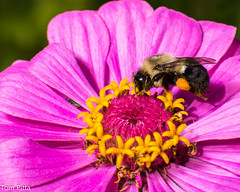 Bee- (TomPitta) Tags: pink flowers summer bees