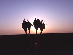 Roses in front of the sunrise (Geo.M) Tags: flowers roses summer sun sunrise front greece anatoli  ilios volos    chorefto     triantafilla