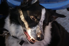 DSC00454 (PHOENlX PHOTOGRAPHY) Tags: trip dog lake boat collie sheepdog border eddie windermere