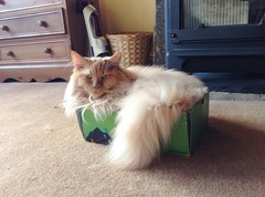George -  now 2 kg lighter! (fastcat!) Tags: cat george chat august gato mainecoon katze gatto 2014