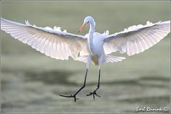 Landing gear down (Earl Reinink) Tags: ontario canada bird nature birds nikon niagara earl egret greategret flicker bif naturephotography earlreinink reinink zzutzuzdha