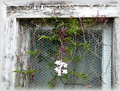 Weathered (sallyNZ) Tags: weathered windowframe scavenger1