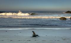 So you also do head shots? (carogray1) Tags: ocean california camping sunset sea lightsandshadows rocks waves afterthestorm 101highway bigsurcalifornia juliapfeifferbeach campingbigsur sealonjuliapfeifferbeach campingjpfeiffercampground