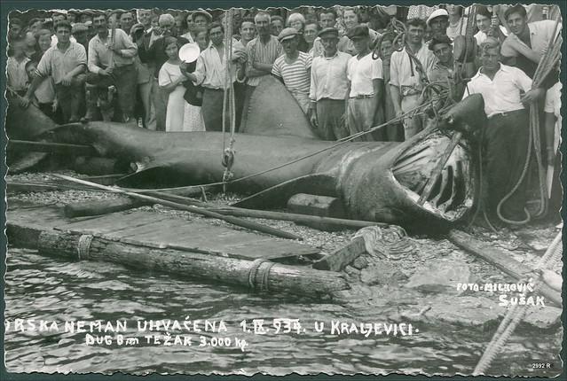 Croatia 2992 R Morska neman uhvaćena 1.IX.1934. u Kraljevici Dug 8 m težak 3000 kg Foto Milković Sušak Psina golema Cetorhinus maximus