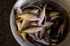 * (Gwenaël Piaser) Tags: india fish canon eos prime reflex gimp 85mm usm february fullframe marché canoneos poissons inde pondicherry février 6d 2014 2015 85mmf18 pondichéry 24x36 ef85mm ef85mmf18usm canonef85mmf18usm ef85mmusm eos6d goubert puducherry rawtherapee புதுச்சேரி பாண்டிச்சேரி unlimitedphotos canonef85mm118usm goubertmarket canoneos6d gwenaelpiaser