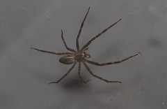 Spider sp. (macronyx) Tags: nature insect spider wildlife insects ghana insekt spindel insekter