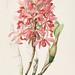 Gorgeous Laelia. Laelia superbiens. The Orchidaceae of Mexico and Guatemala (1837-1843)  [Sarah Ann Drake]