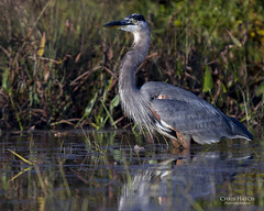 Great Blue Heron (Chris Hatch Photography) Tags: new blue chris lake bird heron nature photography wildlife great birding hampshire warren hatch alstead