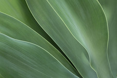 Agave 5 (josullivan.59) Tags: wallpaper toronto canada abstract detail green texture nature etobicoke agave minimalism artisitic 3exp canon6d