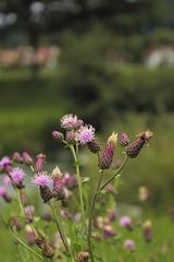 Flower (Tobias_Ungethuem) Tags: canon eos bokeh pflanzen lila grn blume baum 600d