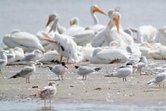 Caspian Tern (adults and juvenile) (painguy007) Tags: minnesota pelican tern americanwhitepelican caspiantern blackdoglake
