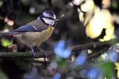 Bright on blue... (Ian A Photography) Tags: nature birds nikon wildlife bluetit birdwatch birdlife gardenbirds ukwildlife ukbirds juvenilebirds