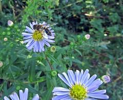 Hoverfly On Aster #1 (Bricheno) Tags: flower bug insect scotland escocia szkocja hoverfly aster schottland ayrshire scozia kilwinning cosse  esccia   bricheno scoia