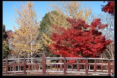 _MG_5530 (c0466art) Tags: trip travel autumn trees wild sunlight lake beautiful japan canon season landscape colorful bright ducks swans 2013  1dx c0466art