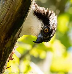 Osprey 9_23 7 (krisinct- Thanks for 12 Million views!) Tags: nikon 150 600 tamron vc d7100