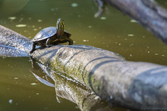 Painted Turtle (Eugene Lagana) Tags: red lake green nature water pond log nikon legs zoom head turtle reptile painted amphibian super pop boom sharp nails preserve tack fyke afs80400