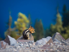 A Quick Snack at Crater Lake (RobertCross1 (off and on)) Tags: trees lake nature animal oregon landscape squirrel bokeh wildlife olympus omd craterlakenationalpark em5 callospermophilus callospermophiluslateralis 40150mmf456mzuiko