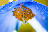 Sunshine & showers (23/50) (Stuart Stevenson) Tags: uk blue flower macro rain yellow garden photography scotland raindrops horticulture lightblue babyblue shallowdepthoffield meconopsis gbr clydevalley himalayanpoppy thanksforviewing canon5dmkii stuartstevenson ©stuartstevenson simmerkinda