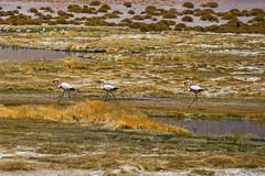 Strutting by. (david takes photos) Tags: losflamencosnationalreserve reservanacionallosflamencos salardetara tara atacama chile flamingo flamingoes sanpedrodeatacama regióndeantofagasta x