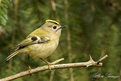 Goldcrest (Regulus Regulus) (CentricMalteser) Tags: march2017 march 2017 rockingham nottinghamshire corby toplodgefineshadewoods fineshadewoods toplodgefineshadewood fineshadewood eastanglia canon7dmkii 7dmkii canon 7d mkii eos7dmkii canoneos7dmkii eos canoneos bird birds wildlifeanimal wildlife animal animals wildlifeanimals goldcrest regulusregulus regulus