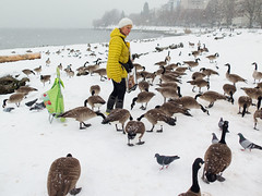 She's like a god to them... (HereInVancouver) Tags: candid streetphotography sunsetbeach vancouverswestend englishbay snowfall snow canadiangeese feeding feedingthegeese thingstodobythewater urban city vancouver bc canada canong16