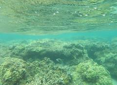 reef_triggerfish_Wainiha_Beach_Kauai_Hawaii_Noah_Cole_2 (GreenRavenPhotography.com) Tags: humuhumunukunukuapuaa humuhumu ocean pacificocean pacific coralreef coral reef fish marine wildlife beach beaches wainiha kauai hawaii hanalei