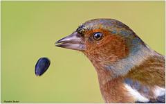 Fringuello (Fausto Deseri) Tags: chaffinch fringillacoelebs fringuello parcodellapiana wildlife nature birds wild sestofiorentino nikond7100 nikkor300mmf28afsii nikontc17eii faustodeseri