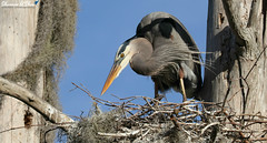 """Darling, I love you, but give me Park Avenue."" (Shannon Rose O'Shea) Tags: shannonroseoshea shannonosheawildlifephotography shannonoshea shannon greatblueheron heron bird beak feathers blue bluesky trees nest moss nature wildlife waterfowl circlebbarreserve lakeland florida flickr wwwflickrcomphotosshannonroseoshea outdoors outdoor fauna canon canoneos80d canon80d eos80d 80d canon100400mm14556lisiiusm"