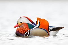 Colors (bmse) Tags: mandarin duck orange county colors colorful canon 7d2 400mm f56 l bmse salah baazizi wingsinmotion