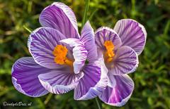 Krokussen in Vlissingen (Omroep Zeeland) Tags: vlissingen zeeland zeeuws natuur krokus krokussen bloemen bloem flora voorjaar lente bloei gras