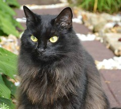 Smokey contemplating (leslieboren) Tags: hairy black closeup cat hair photography feline smooth stare sleek