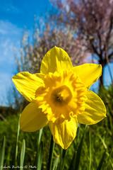 Narciso - 1582 (Roberto Bertolle) Tags: italy italia roberto fiori fiore narciso umbria terni bertolle robertolle robertobertolle