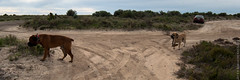 Wallaroo South Australia-3 (Alexander Kondakov) Tags: winter dog beach animals nikon australia sa 2014 wallaroo nikond200 boerboels photobyalexanderkondakov wwwkondakoffcom nikkor1835f3545difedaf