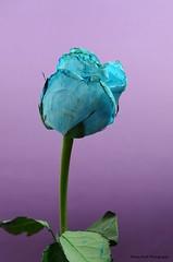 Rose (Banan Sindi) Tags: blue rose وردة زرقاء