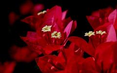 minha querida amiga Ruby Ferreira (Eduardo Amorim) Tags: brazil flower primavera southamerica brasil flor bougainvillea pelotas blume fiore riograndedosul pampa brsil amricadosul buganvlia amriquedusud sudamrica suramrica amricadelsur boanoite sdamerika trsmarias costadoce americadelsud ame