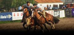 Na peleia (Eduardo Amorim) Tags: brazil horses horse southamerica brasil criollo caballo cheval caballos kuh cow cattle ox ganado cavalos pelotas mucca pferde cavalli cavallo cavalo gauchos pferd riograndedosul pampa vache hest vaca hevonen campanha brsil boi chevaux gaucho buey  amricadosul hst vieh gacho  amriquedusud  gachos  sudamrica gado suramrica amricadelsur  sdamerika crioulo caballoscriollos criollos   costadoce bestiami btail americadelsud  crioulos cavalocrioulo americameridionale caballocriollo eduardoamorim cavaloscrioulos  nomeimportaraacompaartealacopasiconesovuelvoavisitarbrazil hevistoenlasnoticiasquejugaiscontracroaciayacomprendotulibracinparcialdetrabajojejeje loconfiesoheescuchadoelresultadoperonohevistoniunminutodelpartidos boanoiteamigo 31felicidades