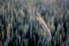 one (H e r m e s) Tags: sunset lake nature wheat sunwater