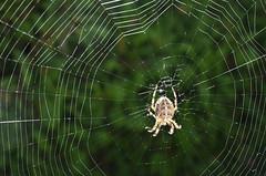 Araignée Araneus diadematus / Épeire porte-croix (=Épeire diadème) (Gaetan L) Tags: spider araignée araneae nikond7000