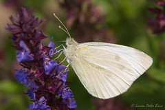 Early summer Cabbage White Butterfly (Laurie-B) Tags: usa animal america bug insect us spring md unitedstatesofamerica maryland insects american northamerica whites yellows tribe freestate afternoonlight livingthings 2014 northamerican westernshore annearundelcounty explored subfamily sulphurs pieridaefamily dpca cabbagewhitepierisrapae arthropodaphylum chordataphylum oldlinestate lepidopteraorder insectaclass animaliakingdom hexapodasubphylum jugbaysanctuary glendeningbutterflygarden eukaryotaempire butterfliesmothsandskippers pierinaewhites pierinicabbagewhitescheckeredwhitesalbatrosses papilionoideasuperfamily
