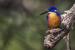 Azure Kingfisher (Pete Tay