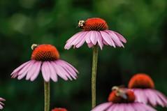 Working the Coneflowers (brev99) Tags: flower garden bokeh bees coneflower purpleconeflower butterflygarden tamron70300vc kaysenvironmentalcenter