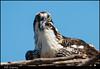 MD Osprey (Nikographer [Jon]) Tags: summer bird nature birds june md nikon wildlife chick osprey jun pandionhaliaetus 2014 d4 pandion nestling haliaetus nikographer 600mmf4 nikond4 20140705d4129327