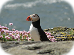 Puffin on Skellig Michael, Kerry, Ireland (W_Armstro) Tags: travel ireland sea dublin irish mountains green landscape islands landscapes clare eire kerry hills puffins dalkey irlandese irlanda irlande countykerry countydublin countyclare skellig skelligmichael
