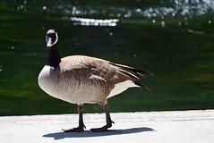 Canada Goose at Polson Park (Vegan Butterfly) Tags: park canada bird animal pond bc goose vernon polson