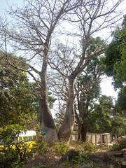 Kent Baobab (Makgobokgobo) Tags: africa tree beach kent sierraleone peninsula baobab freetown adansonia adansoniadigitata westernarea