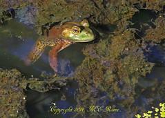 Bullfrog at Duke Farms of Hillsborough NJ (takegoro) Tags: nature wildlife amphibian frog sanctuary naturepreserve bullfrog dukefarms nj hillsborough
