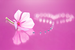 Follow Your Heart (Elizabeth_211) Tags: pink flower reflection drops bokeh tennessee followyourheart jacksontn westtn sherielizabeth