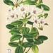 Rhododendron jasminiflorum -Species Vireya Rhododendron -  (date unkown)