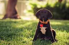 57910018 (La Bella Pixel) Tags: dog grass 35mm puppy naturallight blacklab goldenhour goldenlight nikonfm3a rimlight