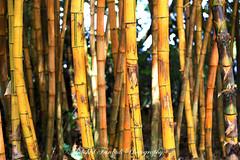 Bamboo ! (Mahshid Fardadi) Tags: canon eos hawaii bamboo strong hanahwy canon5dmarkiii ef70200mmf28lisiiusm